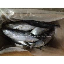 Peixe de peixe de captura grande grande do tamanho para o mercado