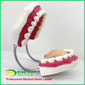 DENTAL03(12562) Giant Tooth Brushing Model by China Medical Anatomical Models