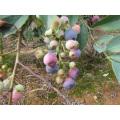 Individual de congelación rápida Blueberry orgánico Zl-1060