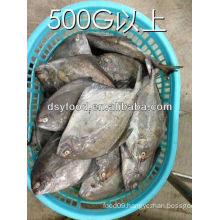 IQF frozen Black Pomfret low price frozen whole pomfret