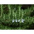 Rosemary Leaf Carnosic Acid