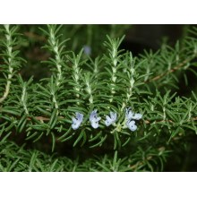 Rosemary Leaf Carnosic Acid