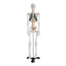 Esqueleto de 85cm com nervos espinhais