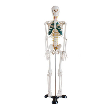 85cm Skeleton ve Spinal Sinirler