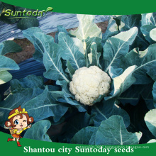 Suntoday White vegetable hs code cocauliflower Brassica oleracea Brassicaceae cauliflower vegetable harvester seeds(A41001)