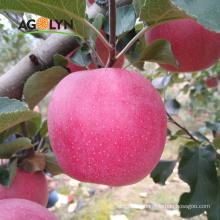AGOLYN natural Green red Qinguan apple fruits