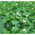 Экстракт листьев лотоса. Нуциферин 2% методом ВЭЖХ, 10: 1