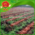 2016 neue frische chinesische rote Karotte