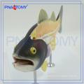 PNT-0822 Fisch anatomisches Modell, Fisch Dissektionsmodell