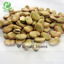 Big size chinese Faba beans export broad beans
