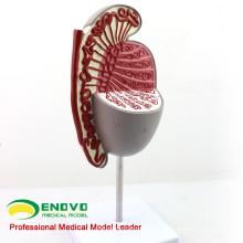 UROLOGY09 (12429) Modelo de Testículo de Sistema Genito-Urinario para Estudio de Ciencias Médicas