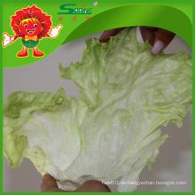 Natürlicher Eisbergsalat Verschmutzungsfreies Gemüse
