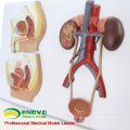UROLOGY10(12437) Section Anatomical Human Urinary System Medical Female Male Model