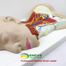 BRAIN20 (12418) Medizinisches Modell für menschliche Nerven Anatomisches Modell