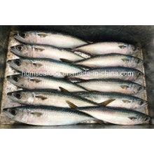 De Buena Calidad Pescado congelado para la caballa pacífica