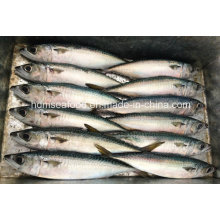 Good Quality Frozen Fish for Pacific Mackerel