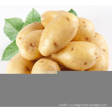 Новый кукурузный свежий картофель (200 г и выше)