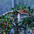 Native Herb Wolfberry Goji Berry