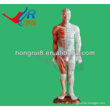 Anatomy Professional 55cm Medical Acupuncture &Muscle Model