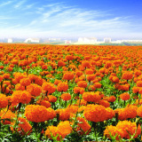 Marigold Flower Extract Lutein