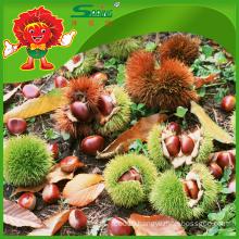 New Seasoned Fresh Chestnuts Healthy Chinese Chestnut