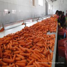 2016 Zanahorias / Vegetales Frescos Exportador De China