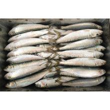 Frische Sardinella Lemuru Fisch