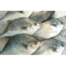 IQF Chegada Nova Frozen Golden Pompano Fish bom fornecedor chinês