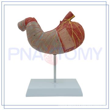 PNT-0460 Modèle d'estomac humain en 2 parties élargi