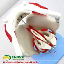 THROAT03(12507) Functional Larynx Model, 3 time Full Size Enlarge, Ear-Eye-Nose-Throat Models > Larynx Models