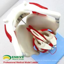 THROAT03 (12507) Modelo funcional da laringe, 3 vezes em tamanho normal Ampliar, modelos orelha-nariz-nariz-garganta> Modelos laringe