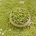 prime qualtiy Green Mung Beans para germinación, MC, tipo 2016,