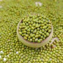 premier qualtiy Green Mung Beans pour la germination, MC, type 2016,