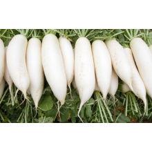 White Radish /green radish wholsale