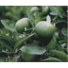 Vente chaude 100% naturel Immature Bitter Orange Plant Extrait