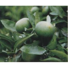 Venda quente 100% Natural Imaturo Extrato de Planta de Laranja Amarga