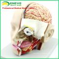 BRAIN04 (12401) Anatomie médicale Coupe de la tête avec cerveau, 4 parties, modèles de cerveau 12401
