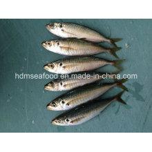 Fornecimento de produtos aquáticos Peixe congelado de cavala