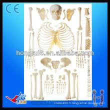 Squelette ISO désarticulé avec squelette adulte du crâne