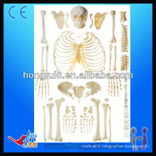 ISO disarticulated skeleton with skull human skeleton model