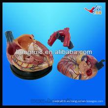 ISO Nuevo modelo Jumbo Heart Anatomy Modelo, modelo de corazón de plástico