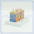 PNT-0554 Manufacture Human Skin structure model with high quality