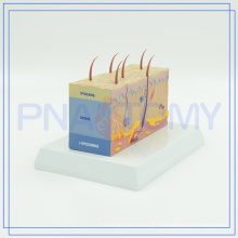 PNT-0554 nuevos modelos de piel humana de plástico de llegada para las fuentes de escuela para la venta