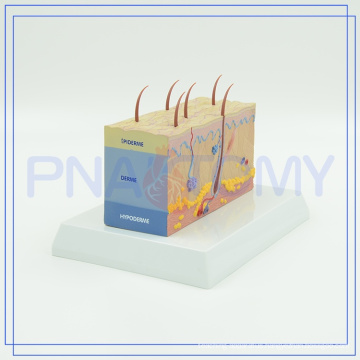 PNT-0554 high quality skin structure model for sale