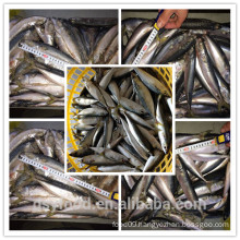 china factory of frozen mackerel/high quality frozen mackerel