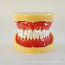 China Jaulas dentales modelo anatómico médico 28 mandíbulas dentales estándar Modelo 13013