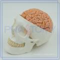 Modelo humano plástico do crânio da boa qualidade PNT-1150 para o hospital