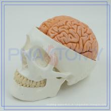 Cérebro anatômico PNT-1150 para uso médico