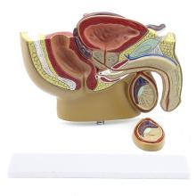 ANATOMY19 (12457) Modelo de pelvis masculina de escritorio Sección sagital media con próstata para regalo médico