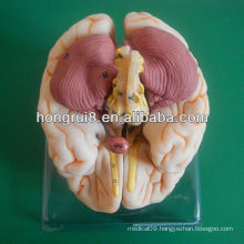 ISO Deluxe Brain Anatomical model,educational model